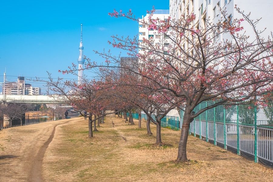 旧中川 河津桜