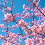 旧中川の河津桜へ5週連続6回訪れて花の観察写真を撮ってみた
