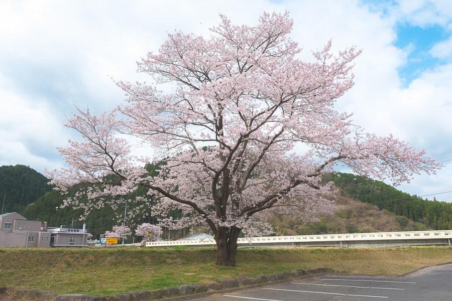 大子町 桜