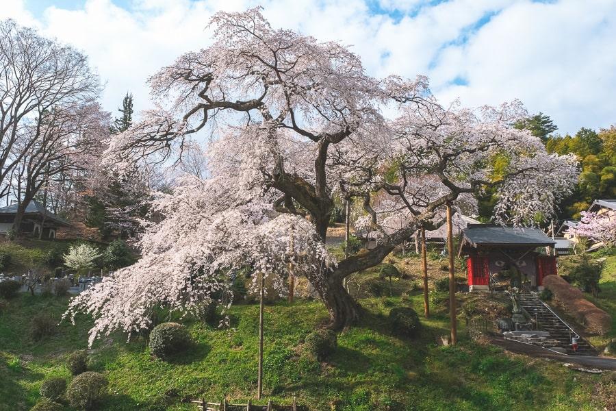 常陸大野 桜 泉福寺