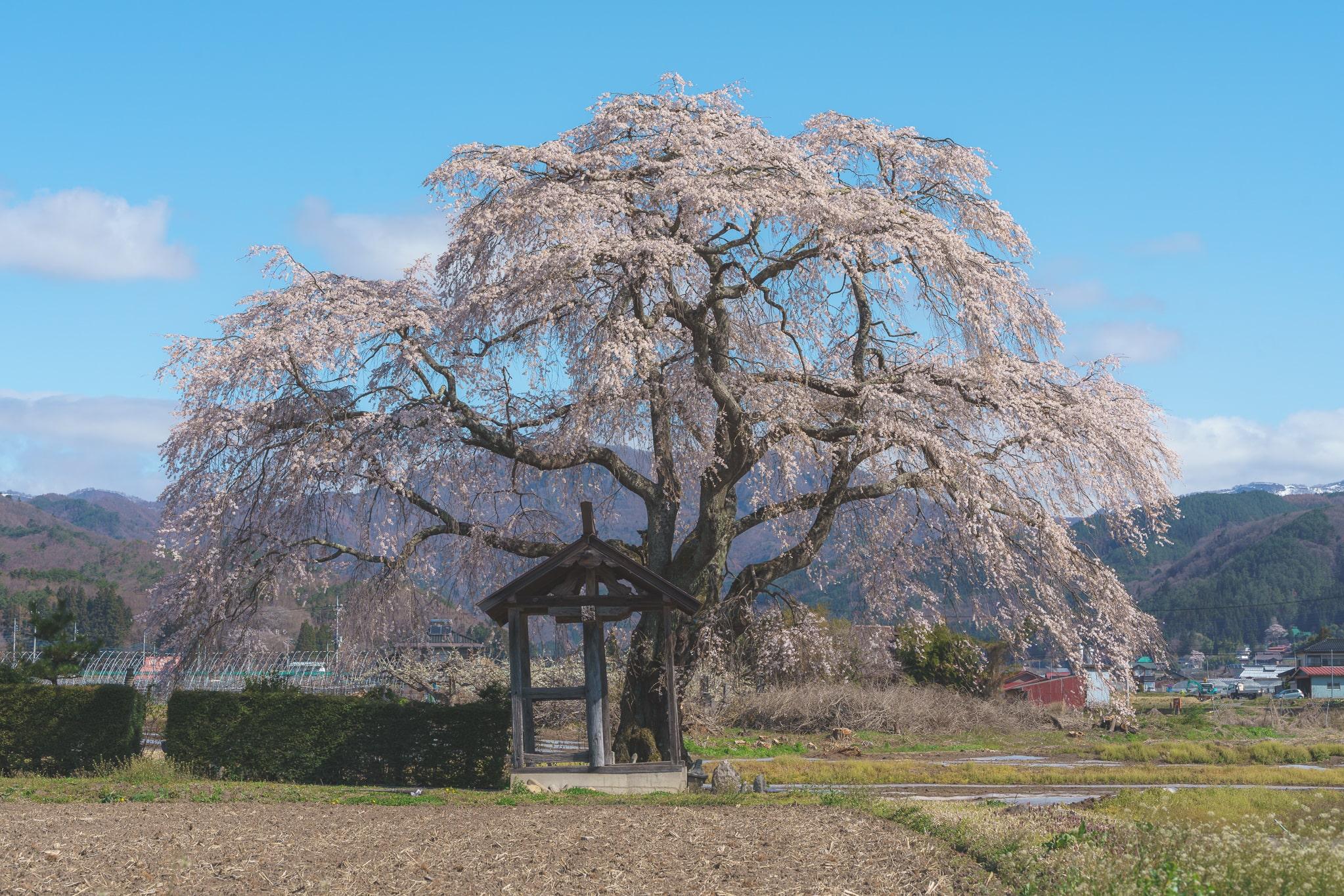 沼田 天照寺 しだれ桜