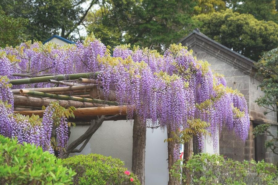 牛島の藤 藤の花