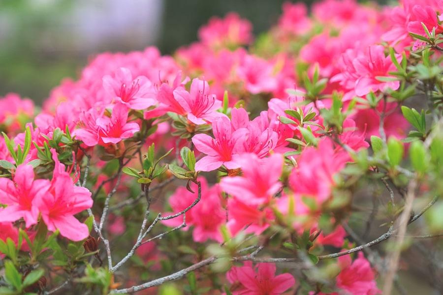 ツツジ 藤花園