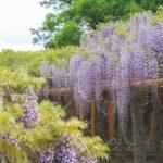 埼玉春日部牛島の藤香り漂う紫のカーテンの中で癒されながら撮影してきた