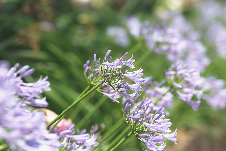 二本松寺 あじさいの杜 紫陽花