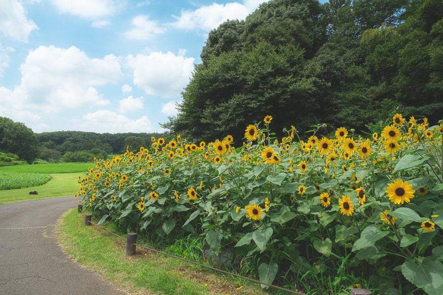 武蔵丘陵森林公園 ひまわり サンフィニティ