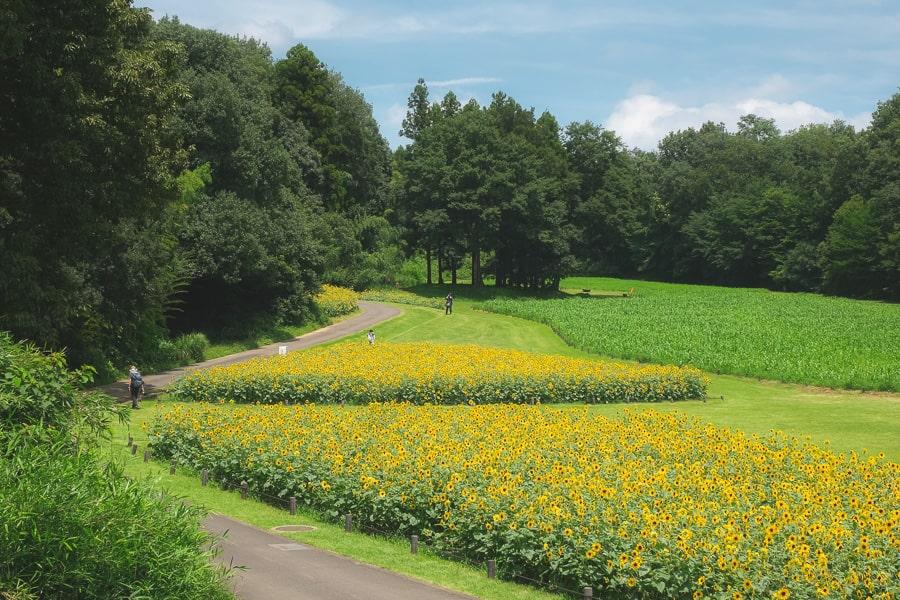 武蔵丘陵森林公園 ひまわり