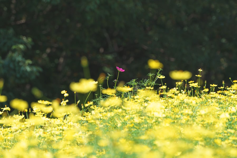 昭和記念公園 キバナコスモス レモンブライト