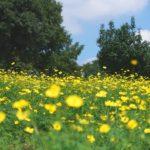 """<span class=""""title"""">昭和記念公園のキバナコスモスレモンブライトの一面黄色の絨毯を撮影してきた</span>"""